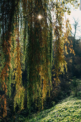 Sunshine through branches of weeping willow tree in forest