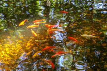 koi goldfish in a pond with reflections