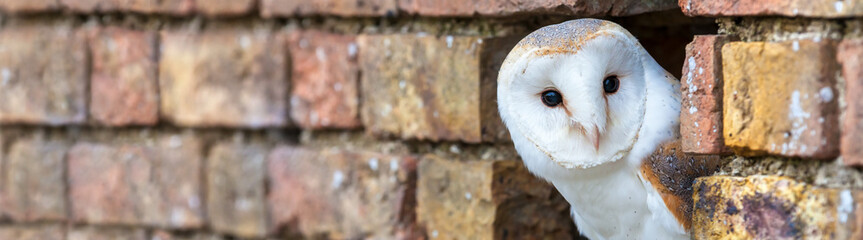 Wall Mural - Barn Owl Looking Out of a Hole in a Wall Panorama