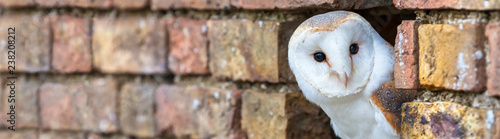 Wall mural Barn Owl Looking Out of a Hole in a Wall Panorama