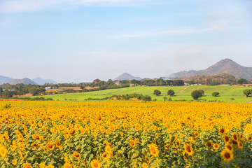Sunflower field landscape.