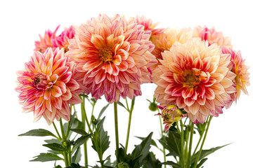 Cadres-photo bureau Dahlia Dahlie