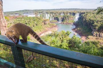 Dangerous wild coati (nasua) posing on Brazilian side of Iguazu falls national park, with argentinian side of Iguazu falls in the background in winter with cloudy skys