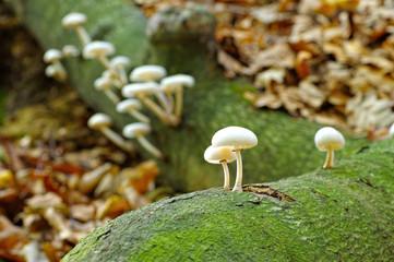 Buchenschleimruebling Oudemansiella mucida im Herbstwald - porcelain fungus or Oudemansiella mucida in autumn forest