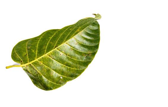 Leaf Wild cinchona Close up