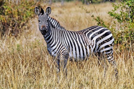 Zebra wildlife in Afrika