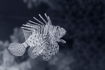 Black and white Lionfish closeup