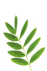 Siamese senna Leaf Close up