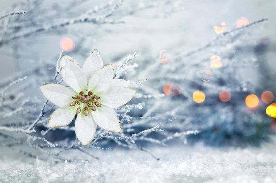 Christmas star flower. White Christmas poinsettia flower