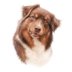 Australian shepherd dog isolated on white background. Head of a companion dog. Animal art collection Dogs. Cute realistic puppy Portrait. Hand Painted Illustration of Pet. Design template for pet shop
