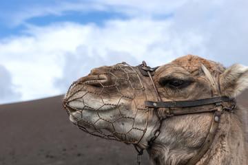 Portrait of a camel. Lanzarote . Canary Islands. Spain