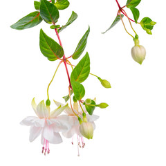 blooming hanging twigs of white fuchsia with green leaves is isolated on background, Frank Unswort, close up