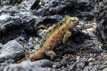 Meerechse auf einem Felsen, Galapagos