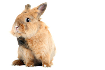 Brown rabbit isolated on white background