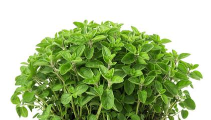 Photo sur Aluminium Condiment Oregano (origanum vulgare)