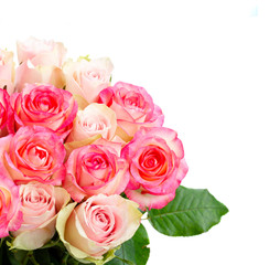 Rose fresh flowers in two shades of pink close up isolated on white background