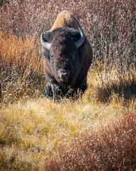 Buffalo Bison in Yellowstone 5