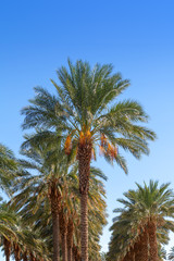Grove of date palm trees with blue sky