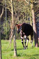 Okapi in park