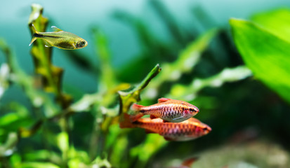 Beautiful freshwater aquarium tank with Cherry barb and Silver Tipped Tetra fishes. green plants background
