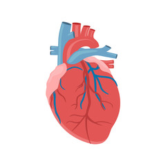 Icon of the human heart anatomy. The Heart of Man. The human internal organ of the heart. Vector illustration.