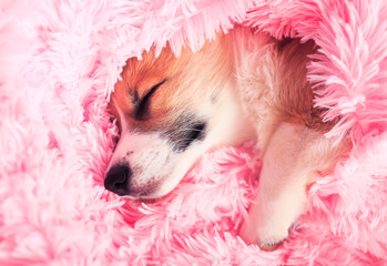 cute puppy sweetly sleeps in bed buried in a pink fluffy blanket pulling out a small nose and paw