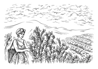 woman gatherer harvests coffee at coffee plantation landscape in graphic style hand-drawn vector illustration.