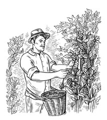man gatherer harvests coffee at coffee plantation landscape in graphic style hand-drawn vector illustration.