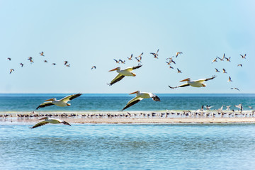 White pelican colony flying by the sandbar