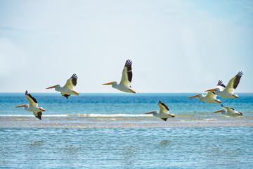 Many white pelicans flying by sandbar