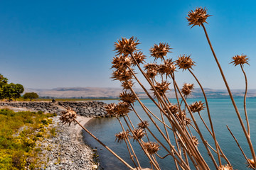 View of the plants and flowers along the lake of Galilee Israel on the edge of the turquase lake of Galilee Israel
