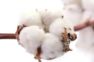 Cotton on a white background