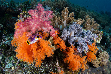Vibrant Soft Corals Growing in Raja Ampat