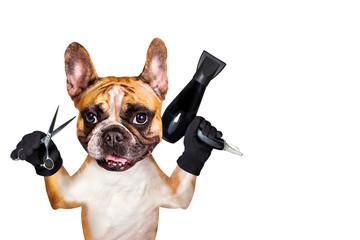 Photo sur Plexiglas Bouledogue français french bulldog on white isolated background keeps hairdressing tools