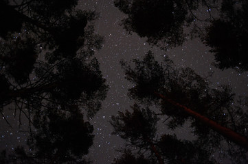 Pine trees under the starry sky.