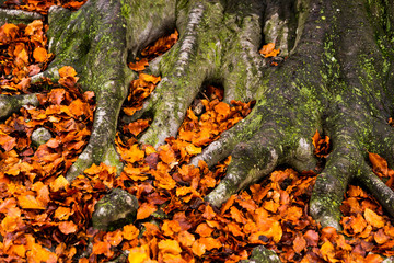 Last golden leaves in autumn beech forest.