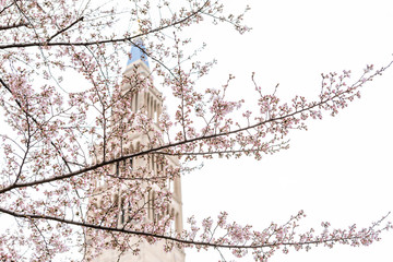 Washington DC, USA Basilica church building tower background in capital city, isolated closeup of colorful cherry blossom flowers pink sakura petals on tree
