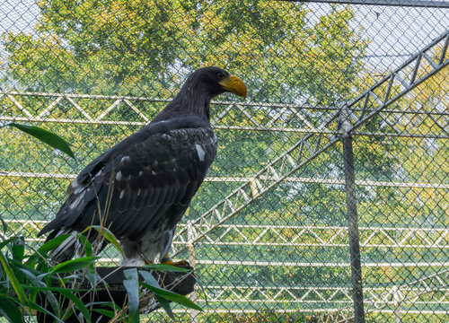 closeup of a stellers sea eagle from the side, a big raptor from japan.