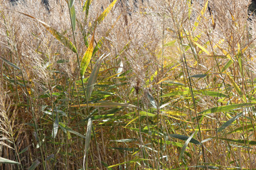 A detail of yellow and green rushes during a sunny autumn day in the rural town of Monterde, Aragon region, Spain