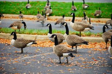 Goose at autumn taken in Virginia