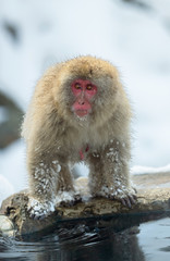 Japanese macaque near the natural hot springs. The Japanese macaque ( Scientific name: Macaca fuscata), also known as the snow monkey. Natural habitat, winter season.