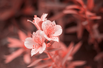 close up flowers toned in living coral color