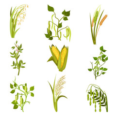 Flat vector sett of cereals and legumes plants. Agricultural crop. Different types of beans and grains