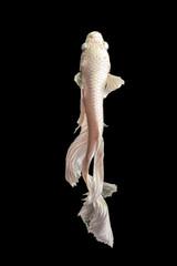 Foto op Aluminium Vissen Betta fish fighter