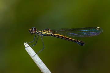Image of Libellago lineata lineata dragonfly (Rhinocypha fenestrella) on dry branches. Family Chlorocyphidae. Insect. Animal,