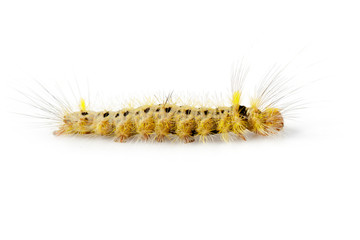 Image of Hairy caterpillar on a white background. Insect. Worm. Animal.