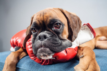 Boxer dog lying down with red boxing gloves.