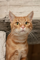portrait of a red hair cat
