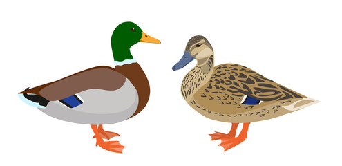 Drake and hen ducks isolated on white background, pair of mallard ducks, vector illustration