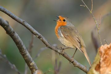 European Robin / Erithacus rubecula